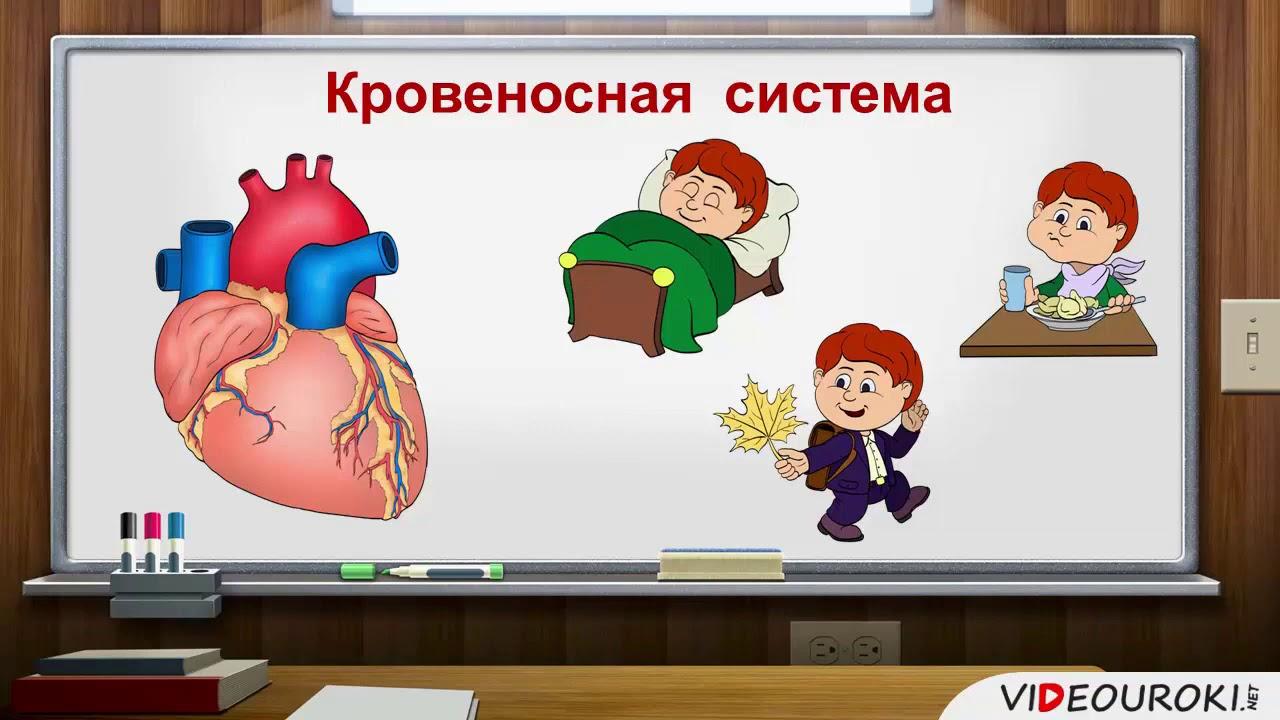 Дыхание и кровообращение. 3 класс.