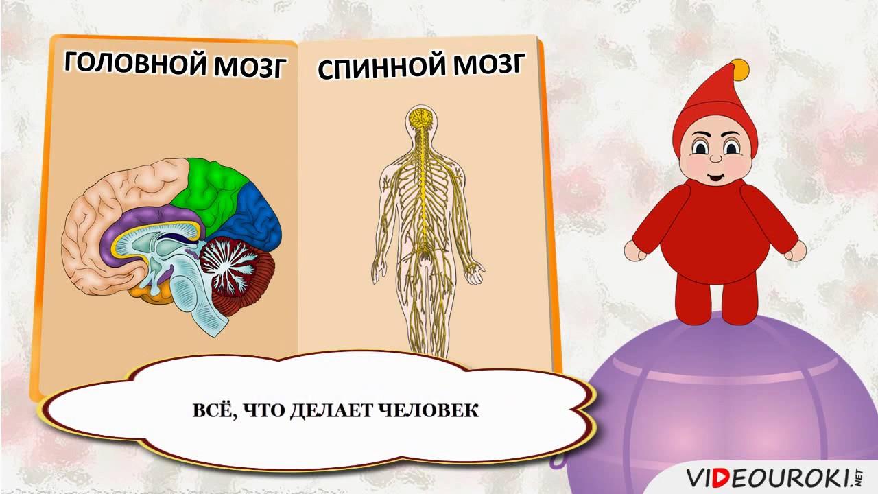 15 Организм человека