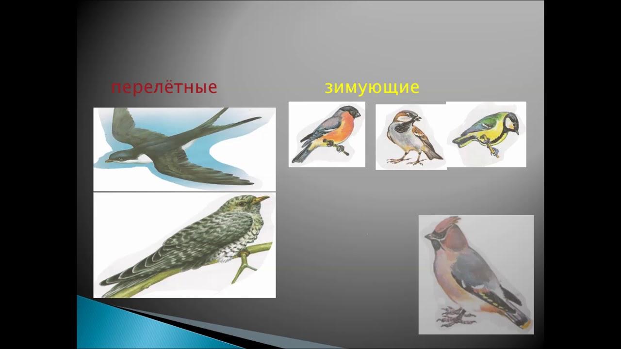 """Видеоурок по окружающему миру. Тема: """"Как помочь птицам зимой?"""". Учитель: Галлямова Лилия Забитовна."""